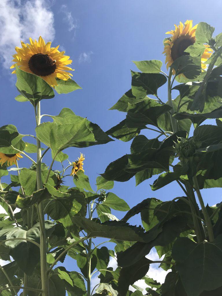 my week in pics zonnebloemen